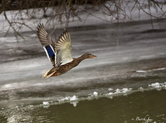*Flying 3437 (Canon50D1) Tags: winter sunset ice ducks villages niederbayern weatherwintersnowice