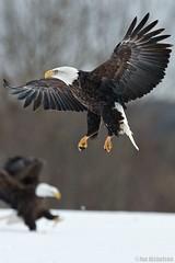 Eagles On Guard (Osprey-Ian) Tags: eagle bald mygearandme mygearandmepremium mygearandmebronze mygearandmesilver mygearandmegold mygearandmeplatinum mygearandmediamond