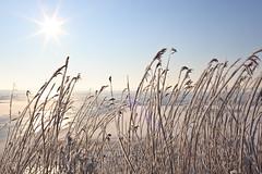 Sunny Gooimeer (KennethVerburg.nl) Tags: winter lake snow ice reed netherlands dutch frozen meer bevroren sneeuw nederland riet flevoland 2012 almere gooimeer ijs