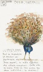 "SKETCHBOOK ""Parade nuptiale""  (Framboisine Berry) Tags: blue france art moleskine nature animal illustration notebook book sketch berry artist drawing diary journal bretagne sketchbook dessin draw artbook artjournal artiste croquis carnetdevoyage carnet framboisine locqunol framboisineberry carnetdartiste"