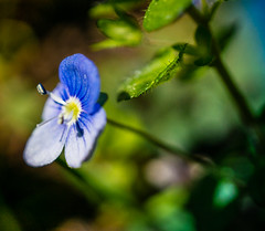 Veronica flower (Don White (Burnaby) Thanks for the Three Million V) Tags: macro bokeh centralpark veronica flowersplants sel30m35