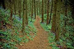 the path through the wood (Ron Layters) Tags: leica wood flowers blue trees light flower green grass bluebells forest spring track dof unitedkingdom path peakdistrict slide velvia transparency bracken fujichrome staffordshire peakdistrictnationalpark treetrunks wincle r62 leicar62 ronlayters slidefilmthenscanned danebridge hangingstonefarm