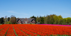 Dutch Countryside (romanboed) Tags: leica flowers red house holland netherlands dutch rural landscape countryside spring tulips farm nederland sunny m rows agriculture 50 summilux niederlande 240 holandsko fileds