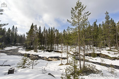 Torrente, torrent (paolo.gislimberti) Tags: wood trees snow alberi forest finland landscapes neve wilderness paesaggi thaw conifers torrent finlandia bosco foresta torrente conifere disgelo runningwaters primaverafinlandese finnishspring acquecorrenti