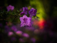Rhododendrons (tonybill) Tags: flowers sunshine gardens bokeh surrey wisley rhswisley rhs nikkorsc50mmf14 sonya7