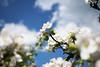 Apple Blossom, Lohja 7