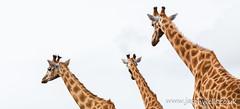Giraffe trio (wellsie82) Tags: portrait panorama nature closeup canon outdoors eos pano panoramic cumbria giraffe safaripark zoology 6d jasonwells animalportrait barrowinfurness southlakeszoo giraffacamelopardalisperalta nigergiraffe westafricangiraffe wellsie82 wwwjasonwellscouk jasonwellscouk nigeriangiraffe
