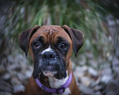 Abby (Keith Broad Photography) Tags: lensbaby lomography boxerdog twirl swirlybokeh lensbabytwist60