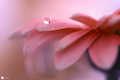 On the edge of time (Trayc99) Tags: flower macro water beautiful droplets petals drops softness delicate floralart beautyinnature softbackground flowerphotography beautyinmacro