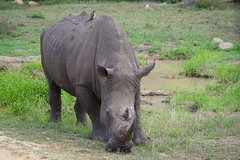 Suedafrika-16 (Lukas P Schmidt) Tags: nationalpark krugerpark nashorn