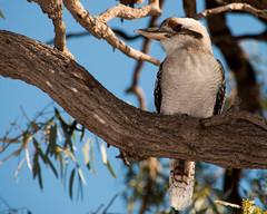 Kookaburra (craighdouglas) Tags: tree bird gum australia aussie southaustralia kookaburra murrayriver murraylands