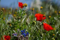Wild beauty// Belleza silvestre (Mireia B. L.) Tags: primavera spring bokeh poppies springflowers springwildflowers amapolas roselles primaverafloressilvestres