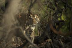 The King of Bandhavgarh (varmarohit) Tags: wild nature wildlife tiger wilderness rohit naturephotography madhyapradesh royaltyfree wildlifephotography wildindia royalbengaltiger royaltiger naturephotograph wildlifephotograph rohitvarma