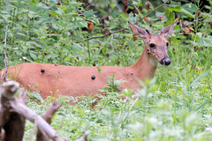 White-tailed Deer (Tiny Wallet Photography) Tags: deer whitetailed cutaneous fibroma
