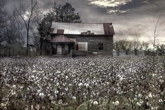 Cotton fields in SC ... Explored..thankyou (Beaches Marley) Tags: abandoned field barn farm cotton