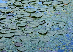 Monet's Garden (Stanley Zimny (Thank You for 18 Million views)) Tags: blue water leaves lily frog monet pads