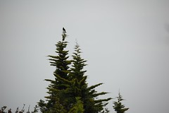 High Notes (remcclean) Tags: sky tree bird outside high nikon notes top sing blackbird territory defend d40