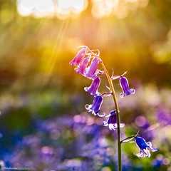 DSC_6129 (TDG-77) Tags: flowers sunset bluebells nikon d750 nikkor f4 24120mm