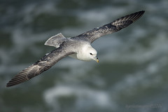 Fulmar (Ross Forsyth - tigerfastimagery) Tags: sea wild nature birds scotland inflight wildlife free east coastal fulmar gliding avian seabirds lothian firthofforth eastlothian