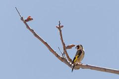 Jilguero (Carduelis carduelis) (imkiory) Tags: aves animales yecla jilguero
