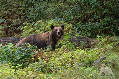 Grizzly Bear (fascinationwildlife) Tags: bear autumn wild brown canada fall nature animal forest river mammal bc wildlife natur inlet grizzly predator sow br braunbr kanada bute