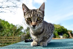 Tilly in your face (monty689) Tags: face nose eyes tabby ears whiskers curious tilly moggy