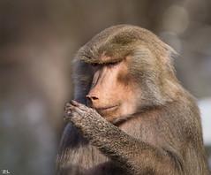 Hmm...lass mich mal berlegen (roland_lehnhardt) Tags: nature animals zoo monkey tiere bokeh wildlife portait tierpark hellabrunn pavian papio hamadryas mantelpavian tierportrait naturemasterclass sigma120400mm eos60d beyondbokeh