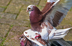Mating pigeons (Paula_124) Tags: nature birds animals wildlife pigeons