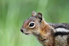 Golden-mantled ground squirrel (jlcummins - Washington State) Tags: nature animal canon wildlife washingtonstate goldenmantledgroundsquirrel yakimacounty bethelridge tamronsp150600mmf563divcusd
