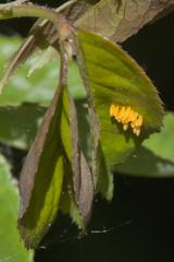 more ladybugs (Jeff Mitton) Tags: roses egg ladybug wondersofnature ladybugeggs earthnaturelife