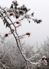 jgvirg / frostwork (debreczeniemoke) Tags: winter frost thorn hoar tl frostwork dr zzmara jgvirg csipkebokor canonpowershotsx20is