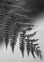 POINTS OF VIEW (michaeljohnsimages) Tags: autumn ireland light shadow bw inspiration fern macro male green art nature beautiful forest canon mono photo leaf flickr dof bokeh picture explore shade monocrome blinkagain