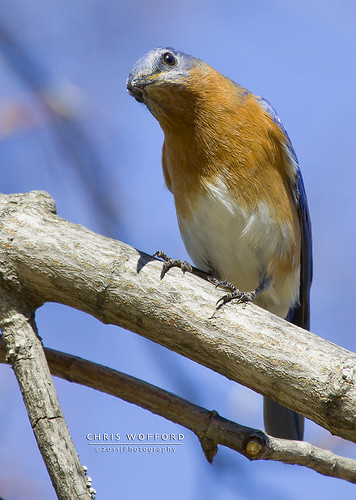 Blue Bird 2