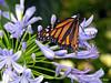Royalty at Rest (NTFlicker) Tags: cincinnati monarchbutterfly nikoncoolpix8800 krohnconservatory bluepurpleflowers