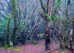 EL BOSQUE NUBOSO DE LAURISILVA EN LA SEL VA  SUBTROPICAL DEL MACIZO DE ANAGA (marthinotf) Tags: nikon canarias el bosque tenerife encantado microclima laurisilva taganana macizodeanaga bosquenuboso montedelasmercedes olétusfotos boquesubtropical macizoteno lianasyärboles selvaumbrólica ecorregión bosquedeterciario regionmacronésica