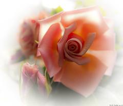 331 of 365 - Peach Rose (linlaw39) Tags: winter stilllife sunlight white blur flower macro oneaday sunshine closeup photoshop petals gallery aberdeenshire bokeh edited softfocus fraserburgh lindal project365 365project november2011 insidework canonpowershotg12 27112011