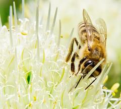 The Bee. (hoboton) Tags: macro nature
