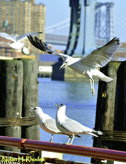 Seagull Making A Perfect Landing Along The East River NYC (Brooklyn Bridge and Manhattan Bridge in background) (nrhodesphotos(the_eye_of_the_moment)) Tags: nyc portrait seagulls birds animals buildings cord flying wings waterfront bokeh candid lowereastside feathers rope brooklynbridge manhattanbridge eastriver pylons railings tails williamsburgbridge talons beaks nhr nrhodesphotosyahoocom wwwflickrcomphotostheeyeofthemoment dsc28611