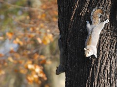 doublesquirrel/duplamkus (palinta) Tags: park uk tree green london nature squirrels mkus fatrzs palinta