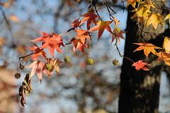 Last autumn days () Tags: autumn light colors leaves foglie photography photo foto photographer photos fotografia autunno colori luce stefano fotografo trucco alberoefoglia zush 70200vrii stefanotrucco