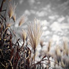Golden Reeds I (M a r c O t t o l i n i) Tags: color 6x6 film nature zeiss reeds square golden switzerland suisse kodak or champs fields epson mf roseaux couleur carr planar vaud ektar hasselblad500cm v700 vuescan epsonv700 kodakektar100 epsonperfectionv700 ektar100 planar2880mm marcottolini