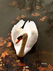 MIG_2875b (Miguel Tavares Cardoso) Tags: white portugal branco swan cisne caldas caldasdarainha natureplus flickraward ilustrarportugal panoramafotográfico onlythebestofnature migueltavarescardoso