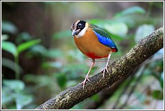 Blue-winged Pitta-on EXPLORE (Ericbronson's Photography) Tags: bird nature canon interesting singapore wildlife pitta bluewinged ericbronson