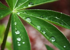 (I Dream in Horses) Tags: red favorite macro water leaves garden spider drops stem spiderweb h2o dew lupin lupine onlythebestofnature canoncanonrebelxsiplantfloragreen