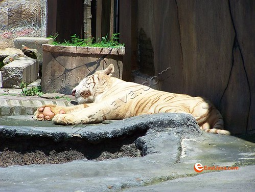 The Sleeping Tiger On Batu Secret Zoo
