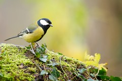 Msange charbonnire, great tit (Zed The Dragon) Tags: wild bird speed jaune french geotagged rouge effects photography iso800 photo flickr tits view minolta photos bokeh sony main images vert best full fave most frame getty faves gorge 100 fullframe alpha antony animaux parc postproduction franais greattit sal zed gettyimages oiseaux francais sceaux lightroom f40 effets msange 200mm parcdesceaux favoris 24x36 a850 0005sec sonyalpha hpexif alpha350 100comment minoltaapo 80200apog parcsceaux dslra850 alpha850 zedthedragon 100coms minoltaapo80200hs charbonnire