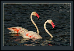 Swimming in an inky sea! (Rainbirder) Tags: ngc greaterflamingo phoenicopterusroseus lakebogoria rainbirder