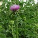 "Silybum marianum (L.) Gaertn., Asteraceae • <a style=""font-size:0.8em;"" href=""http://www.flickr.com/photos/62152544@N00/6596736979/"" target=""_blank"">View on Flickr</a>"