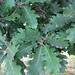 "Quercus cerris L., Fagaceae • <a style=""font-size:0.8em;"" href=""http://www.flickr.com/photos/62152544@N00/6596753613/"" target=""_blank"">View on Flickr</a>"