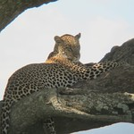 "Leopard in Tree <a style=""margin-left:10px; font-size:0.8em;"" href=""http://www.flickr.com/photos/14315427@N00/6599728925/"" target=""_blank"">@flickr</a>"